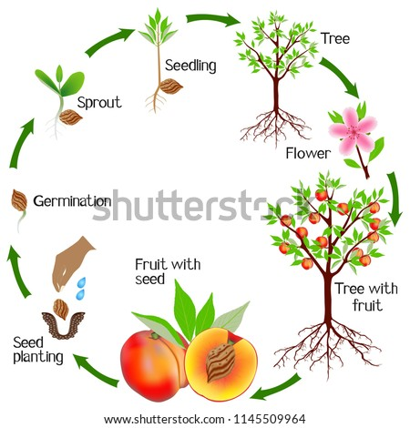 cycle of a peach plant growth