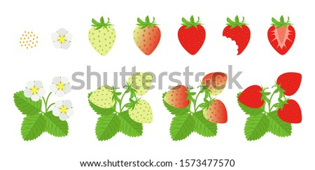 Cycle of growth of a strawberry plant. Vector illustration of strawberries. Set of strawberries. Flower, green, ripe, bitten strawberry, strawberry half. Strawberry on white background.