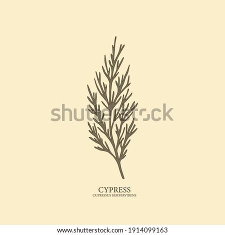 Cypress hand drawn illustration. Botanical design ストックフォト ©