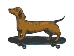 Dachshund dog ride on skateboard color sketch engraving vector illustration. Scratch board style imitation. Black and white hand drawn image.