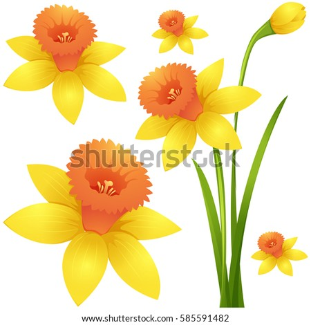 Daffodil flower in yellow color illustration