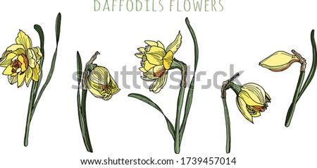 daffodils flowers set of
