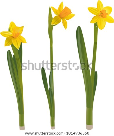 daffodils on a white background....