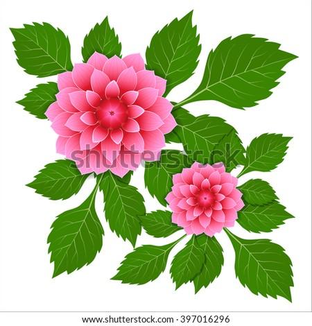 dahlia pink flower vector