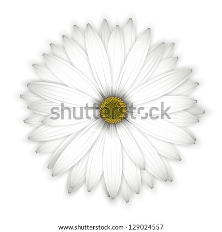 Daisy flower background. Isolated on white. Detailed vector illustration. Eps10.