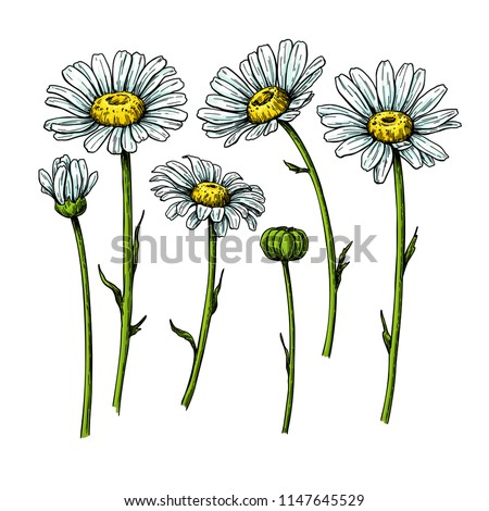 Daisy flower drawing. Vector hand drawn floral object. Chamomile sketch set. Wild botanical garden bloom. Great for tea packaging, label, icon, greeting cards, decor