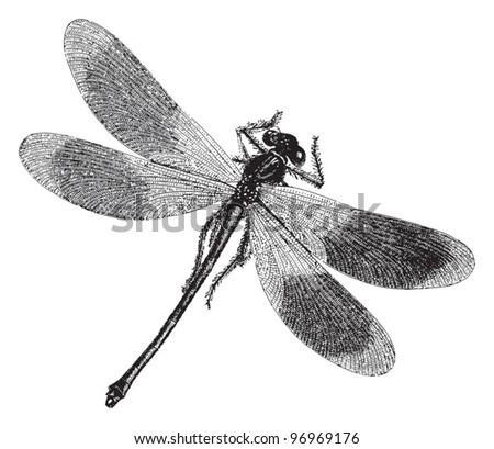 Damselfly - Dragonfly / vintage illustration from Meyers Konversations-Lexikon 1897