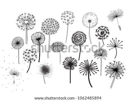 dandelion fluffy seeds flowers