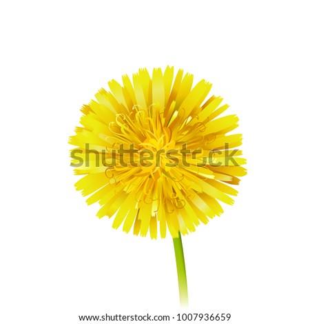 dandelion officinale flower