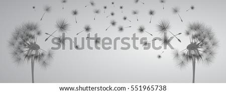 dandelion on grey background....