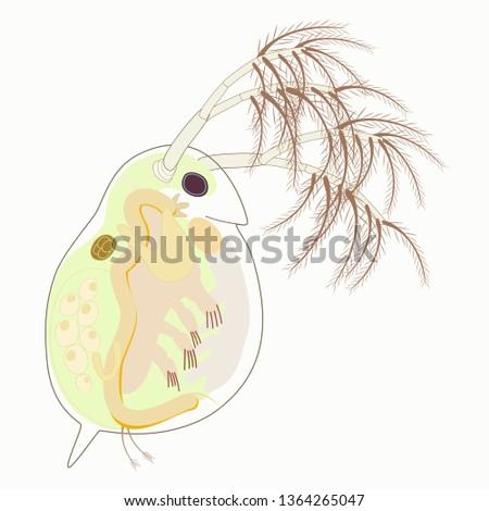 daphnia magna vector