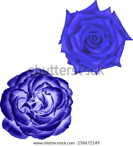 dark blue rose flower isolated