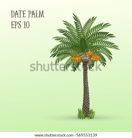 Date palm tree with ripe fruits dates. Vector illustration