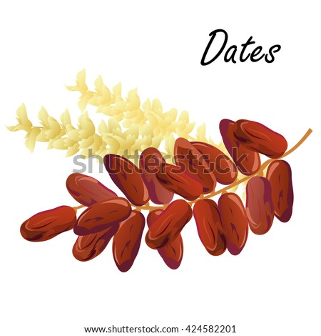 Dates. Hand drawn vector illustration of dried dates (Ramadan Iftar food) with date palm flowers on white background.