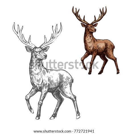 deer  reindeer or elk isolated...