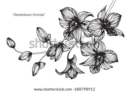 Dendrobium Orchid flowers by hand drawing and sketch with line-art on white backgrounds. #688798912