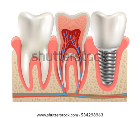 Structure Of Tooth Vectors Download Free Vector Art Stock