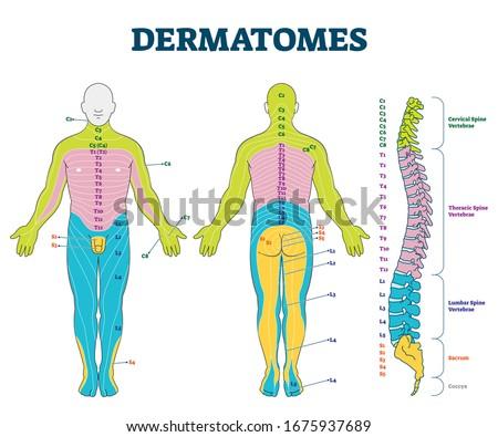 Dermatomes vector illustration. Labeled educational anatomical skin parts scheme. Epidermis area supplied by afferent spinal nerve fibers. Cervical, thoracic, lumbar and sacral nerves division diagram