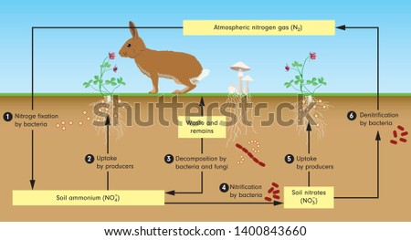 Diagram nitrogen cycle. process by which nitrogen is converted between its various chemical forms