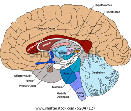 stock-vector-diagram-of-a-human-brain-52047127.jpg