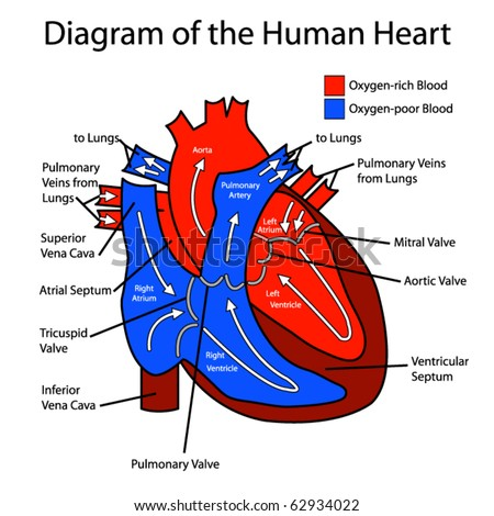 human heart diagram for kids. stock vector : Diagram of the