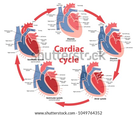 Diagram of the phases of cardiac cycle with main parts labeled. Circulation of blood through the heart. Vector illustration