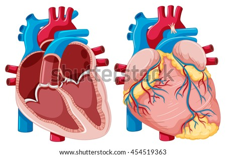 Diagram showing human hearts illustration