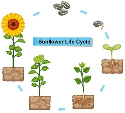 Diagram showing life cycle of sunflower illustration