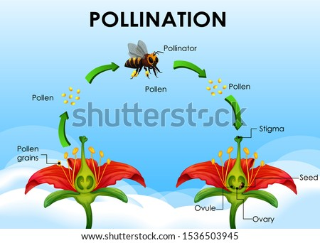 Diagram showing pollination cycle illustration Stock photo ©