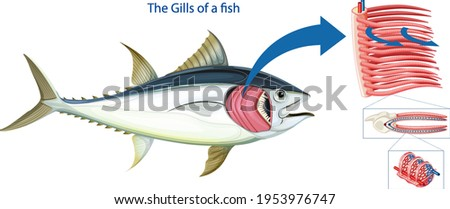Diagram showing the grills of a fish illustration Stockfoto ©