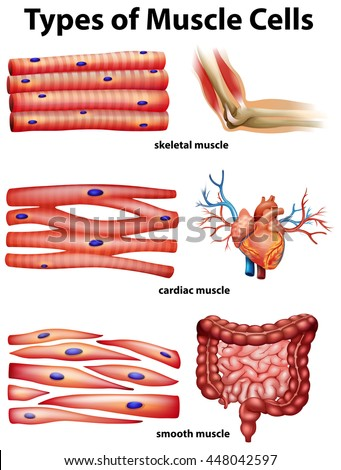 diagram showing types of muscle