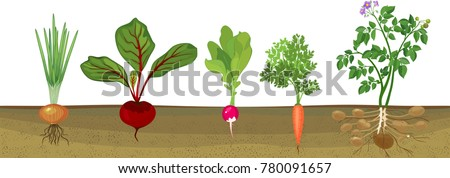 Different root vegetables growing on vegetable patch. Plants showing root structure below ground level