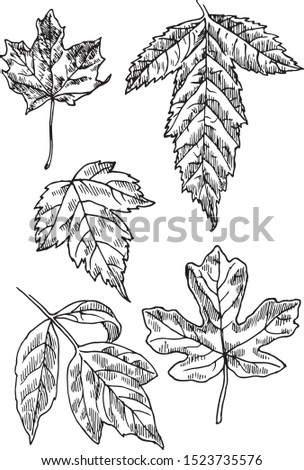 Different types of maple. Illustration of maple's leaves: Norway maple, Acer ginnala, Acer barbinerve(bearded ), Field maple, Boxelder maple. Vector isolated.