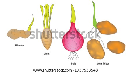 Different Types of underground stem, rhizome, corm, bulb, stem tuber, Bulb - Short, upright organ leaves modified into thick flesh scales. Tulips, daffodils and Lilies. Corm - Short, upright, hard