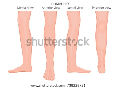 Different views, sides of a human leg (posterior, frontal, anterior, back, side, lateral, medial) with ankle and knee. Vector illustration for advertising, medical (health care) publications. EPS 8.