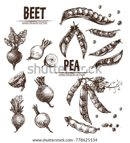 Digital vector detailed line art beet and pea vegetable hand drawn retro illustration collection set. Thin artistic pencil outline. Vintage ink flat style, engraved simple doodle sketches