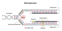 DNA replication diagram, leading and lagging strands, molecular biology