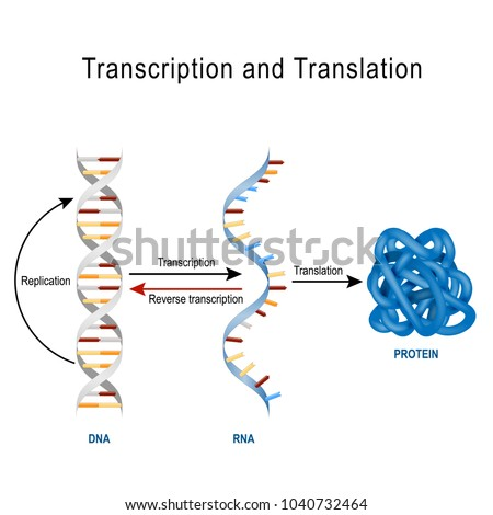 dna replication  protein