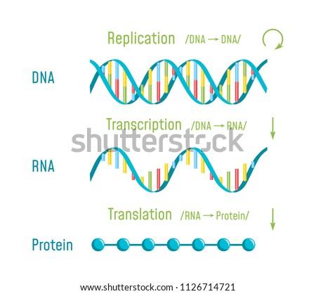DNA Replication, Transcription and Translation. The Central Dogma of Molecular Biology. Vector illustration