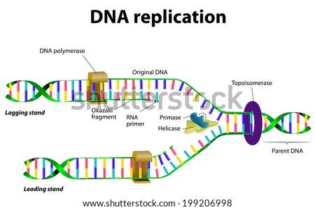 Dna replication vector diagram download free vector art stock dna replication vector diagram ccuart Gallery