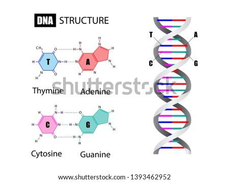 DNA structure and nucleotide base, Deoxyribonucleic Acid, vector illustration eps10