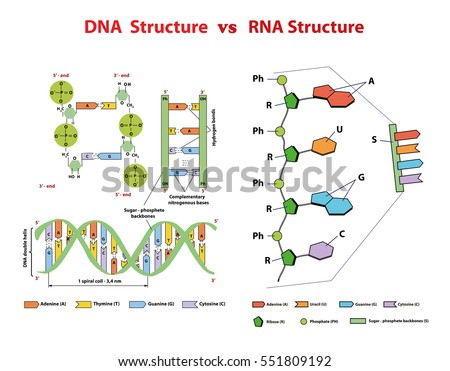 DNA structure vs RNA structure. DNA structure vs RNA structure. Nucleotide, Phosphate, Sugar, and bases. education vector  info graphic. DNA and RNA strand helix molecule spiral.