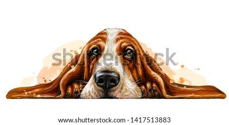 dog breed basset hound the