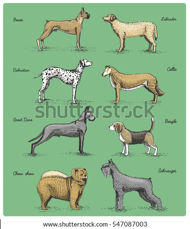 dog breeds engraved, hand drawn vector illustration in woodcut scratchboard style, vintage drawing species. boxer, labrador, dalmatian, collie great dane schnauzer chow-chow.