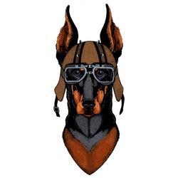Dog, doberman. Portait of animal. Motorcycle helmet.