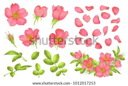 dog rose blooms wild rose