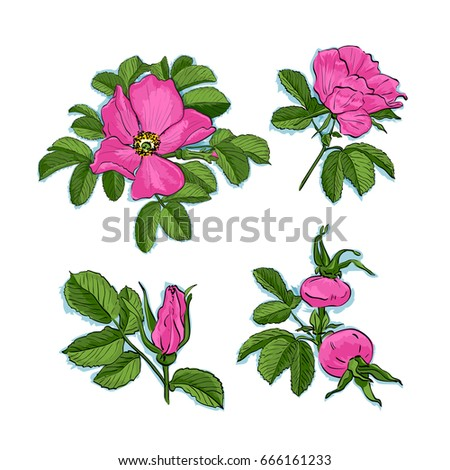 dog rose drawing flowers  hand