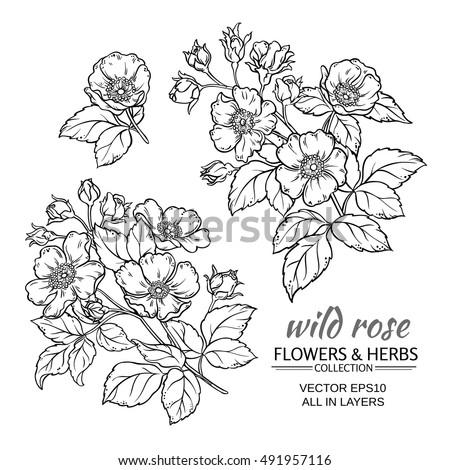 dog rose flowers vector set on