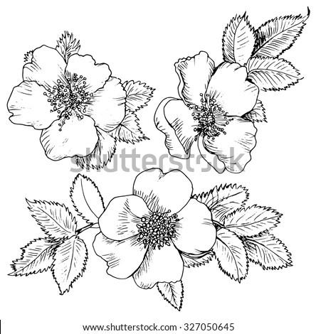 dog rose hand drawn flowers