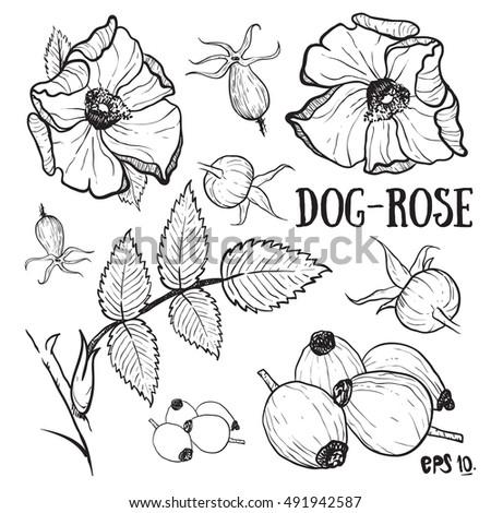 dog rose rose sketch